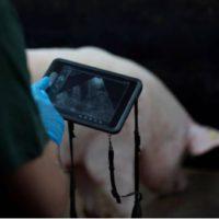 La Carne De Cerdo, Un Producto Libre De Antibióticos