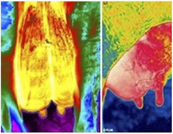 Imágenes infrarrojas obtenidas de bovinos estudiados. Foto: Cristian Ceballes