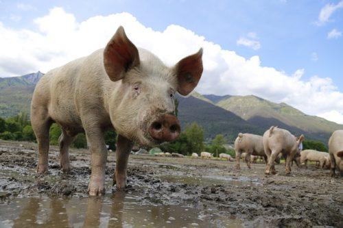 La PPA Sigue Afectando Fuertemente En Los Mercados Mundiales De La Carne De Cerdo
