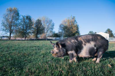 El Sector Porcino Reduce En Más De Un 41% Sus Emisiones GEI Derivadas De La Gestión De Estiércoles