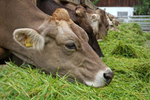 Efectos Del Ensilaje Y La Microbiota Ruminal Para Reducir Las Aflatoxinas En La Cadena Láctea, Primeros Resultados Del Proyecto AFLA1MILK