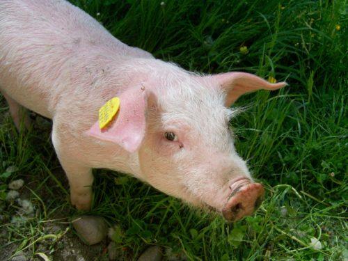 China Podría Reducir Su Producción De Cerdos En 2022 Beneficiando A Las Exportaciones Españolas