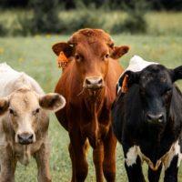 Alimentar A Las Vacas Eficientes No Obstaculiza Los Digestores.
